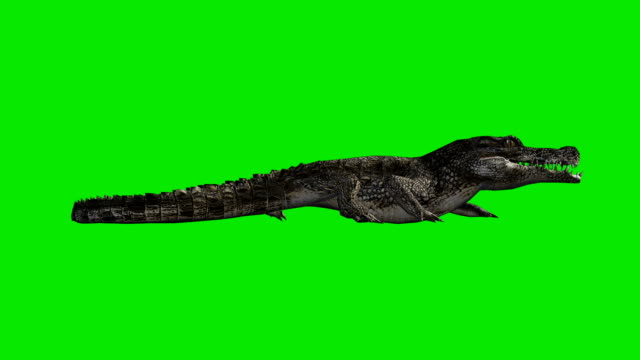 crawling crocodile green screen (loopable) - alligator stock videos & royalty-free footage