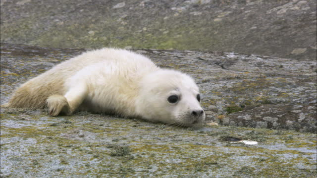 ms crawling grey seal cub / sweden - seal pup stock videos & royalty-free footage
