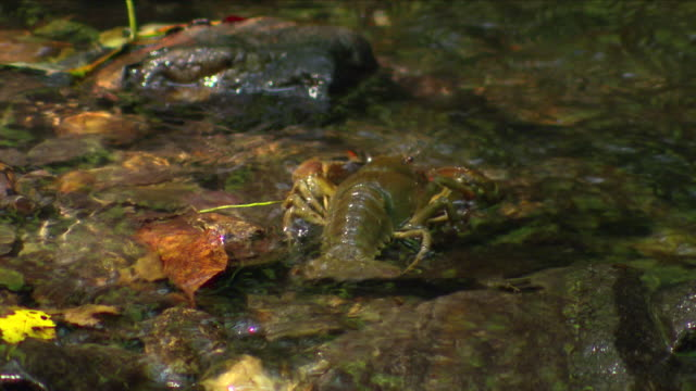Crayfish in Thayatal National Park in (Austria)