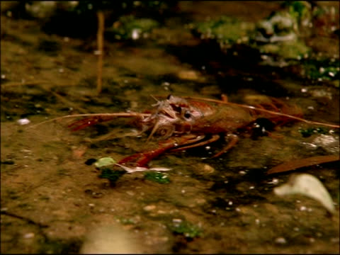 crayfish (probably american crayfish (pasifastacus leniusculus)), parque natural sierras de cardena y montoro, andalusia, southern spain - head back stock videos & royalty-free footage