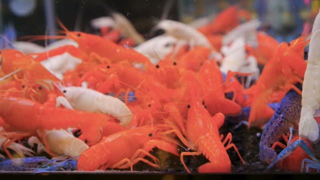 flußkrebs rot-weiß. - flußkrebs tier stock-videos und b-roll-filmmaterial
