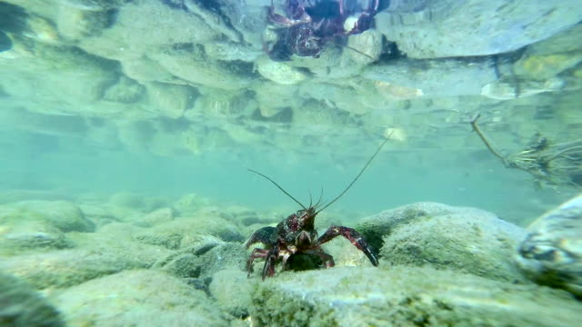 crayfish underwater on pebbles - riverbed stock videos & royalty-free footage