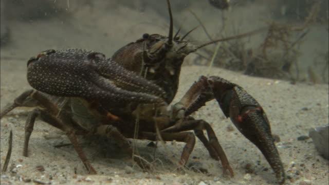 cu pan crayfish walking on seabed / visby, nã¤r, ljugarn, gotland, sweden - flußkrebs tier stock-videos und b-roll-filmmaterial