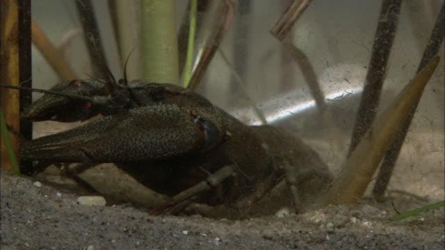 cu crayfish walking on seabed / visby, nã¤r, ljugarn, gotland, sweden - flußkrebs tier stock-videos und b-roll-filmmaterial