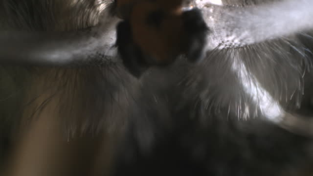 slomo creatonotus moth releases pheromones, australia - bbc stock videos and b-roll footage