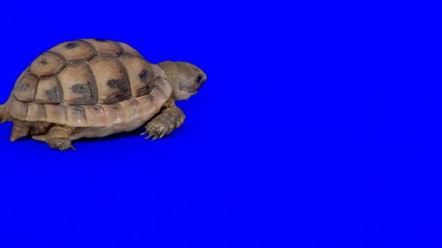 青色の背景にとるタートル - 水棲ガメ点の映像素材/bロール