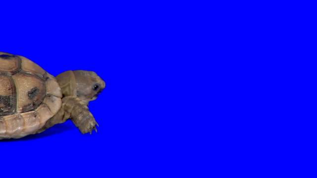 creeping turtle on blue background - sköldpadda bildbanksvideor och videomaterial från bakom kulisserna