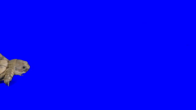 creeping turtle on blue background - turtle stock videos & royalty-free footage