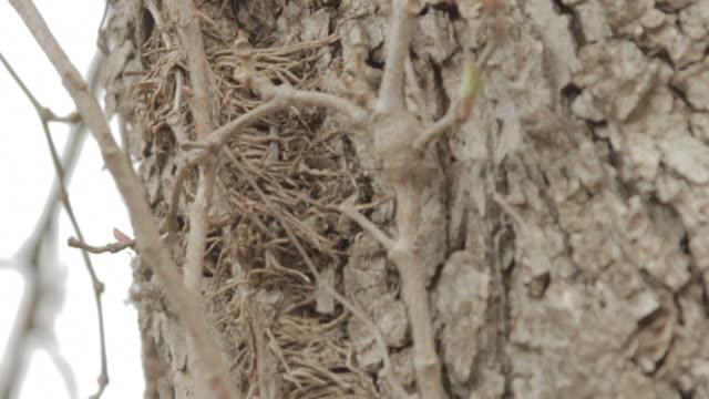 Creeping Vine Cluster Growing Up Tree