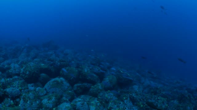 creole fish schooling in undersea reef, galapagos - seabed stock videos & royalty-free footage