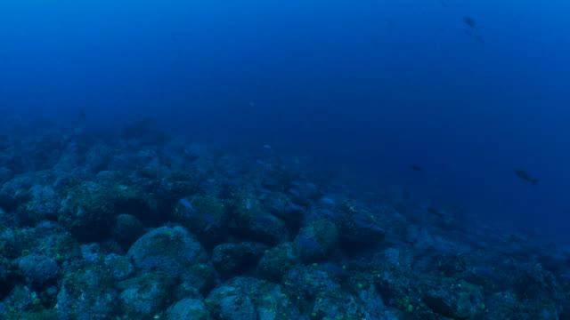 Creole fish schooling in undersea reef, Galapagos