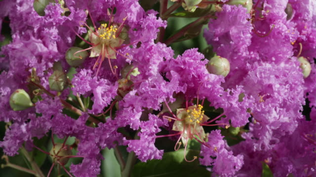crepe myrtle flowers closeup - crepe myrtle tree stock videos and b-roll footage
