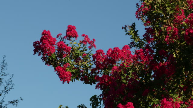 crepe myrtle flowers in a breeze - crepe myrtle tree stock videos and b-roll footage
