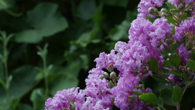 crepe myrtle flowers - crepe myrtle tree stock videos and b-roll footage