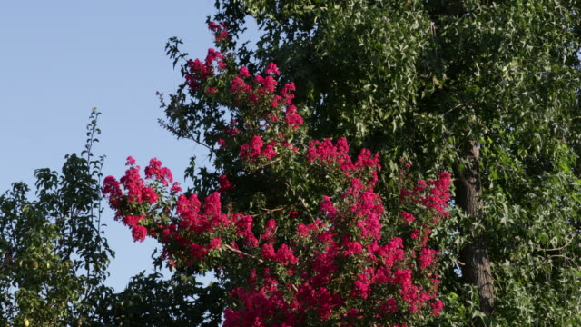 crepe myrtle in bloom in a breeze - crepe myrtle tree stock videos and b-roll footage