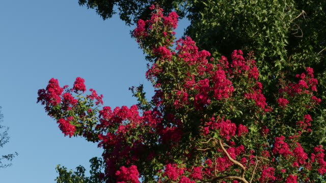 crepe myrtle in bloom - crepe myrtle tree stock videos and b-roll footage