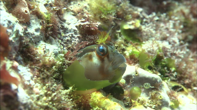 Crested blenny (Parablennius laticlavius) peers out of crevice, Poor Knights Islands, New Zealand