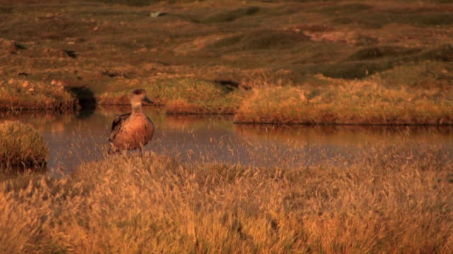 ms crested duck standing near the edge of lake titicaca with grasses around it blowing in wind / puno, la paz, bolivia - animal's crest stock videos and b-roll footage