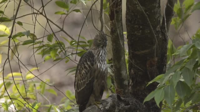 a crested hawk eagle perched in a shade inside bandhavgarh national park - safari india stock videos and b-roll footage