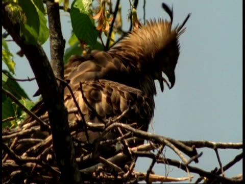 vídeos de stock, filmes e b-roll de ms crested hawk eagle, spizaetus cirrhatus, adult in nest, bandhavgarh national park, india - grupo pequeno de animais
