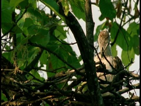 vidéos et rushes de ms crested hawk eagle, spizaetus cirrhatus, chick grooming in nest in tree, bandhavgarh national park, india - se lisser les plumes