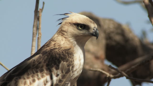 stockvideo's en b-roll-footage met cu crested hawk-eagle (nisaetus cirrhatus) on bare tree against blue sky / madhya pradesh, india - bare tree