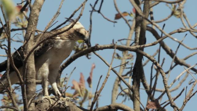 stockvideo's en b-roll-footage met ms pan crested hawk-eagle (nisaetus cirrhatus) on bare tree against blue sky / madhya pradesh, india - bare tree
