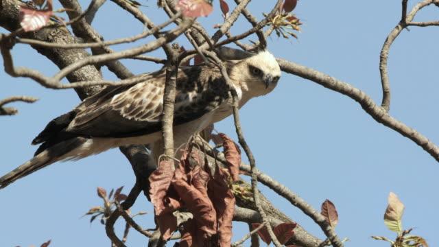 stockvideo's en b-roll-footage met ms la crested hawk-eagle (nisaetus cirrhatus) on bare tree against blue sky / madhya pradesh, india - bare tree