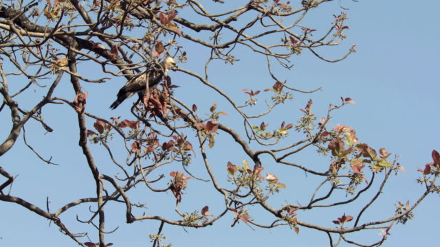 vídeos de stock, filmes e b-roll de ws la crested hawk-eagle (nisaetus cirrhatus) tree against blue sky / madhya pradesh, india - low angle view