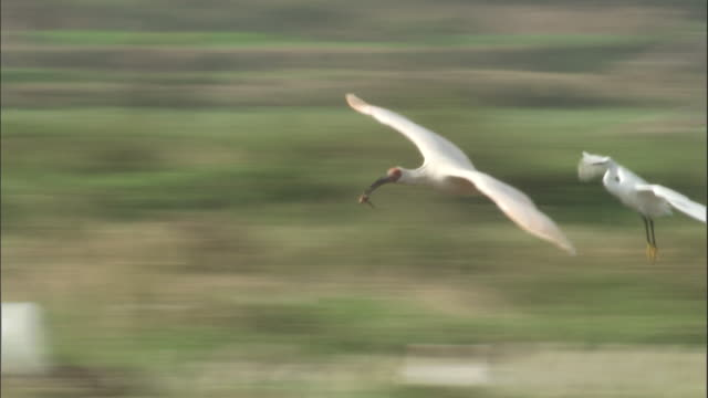 crested ibis and cattle egret fly over field, quinling, china. - bunter reiher stock-videos und b-roll-filmmaterial