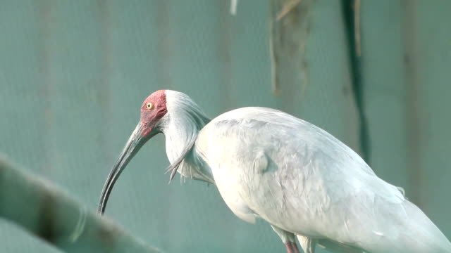 Crested Ibis in the cage