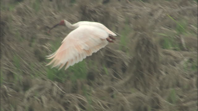 crested ibis takes off from field then lands behind stooks of hay, jiuzhaigou, china - haystack stock videos & royalty-free footage