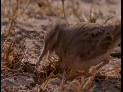 cu crested lark foraging in sand, gujarat, india - foraging stock videos and b-roll footage