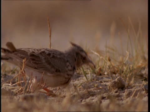 mcu crested lark foraging in sand, gujarat, india - foraging stock videos and b-roll footage