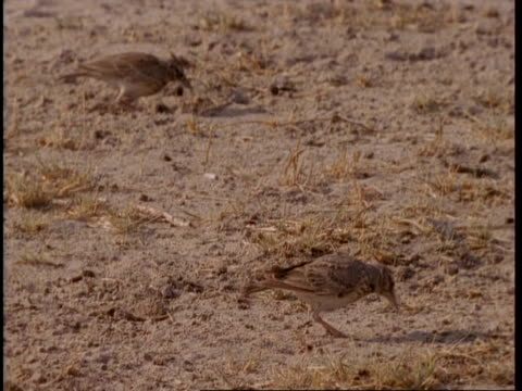 ms 2 crested larks foraging in sand, gujarat, india - foraging stock videos and b-roll footage