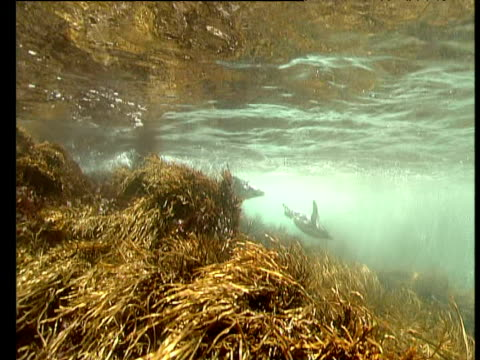 crested penguins swim in weedy shallows and surf, snares islands, new zealand - seabed stock videos & royalty-free footage