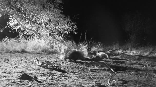 Crested porcupine feeds near Honey badger.