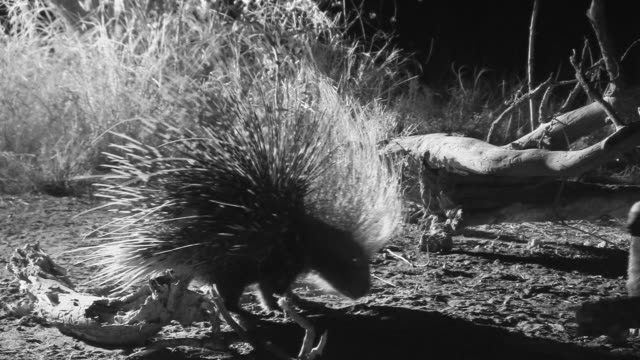 Crested porcupine forages near feeding Honey Badger.