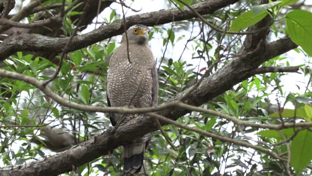 Crested serpent eagle in Okinawa