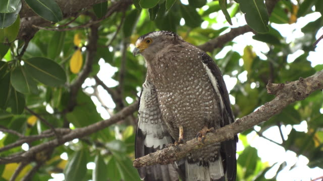 crested serpent eagle in okinawa - okinawa prefecture stock videos & royalty-free footage