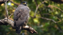 A crested serpent eagle perched on a branch