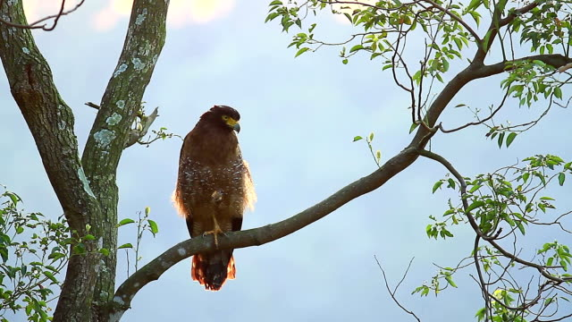 A Crested Serpent Eagle perched on a tree branch