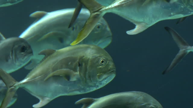 CU, Crevalle Jack fishes (Caranx hippos) swimming underwater, Georgia, Atlanta, USA