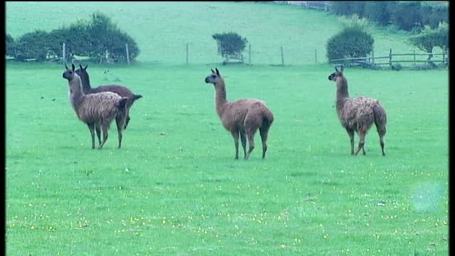 crewe and nantwich by-election: campaigning; llamas in field on edward timpson's estate - ナントウィッチ点の映像素材/bロール