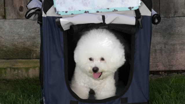 cricket, a prize winning bichon frise, waits impatiently in her carrier at home ready to go to the next show - gabbietta per animali video stock e b–roll