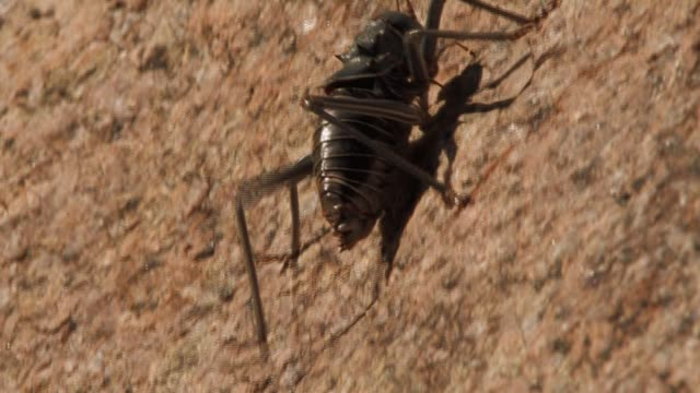 a cricket casts a shadow as it crawls up the face of a rock. available in hd. - cricket insect stock videos and b-roll footage