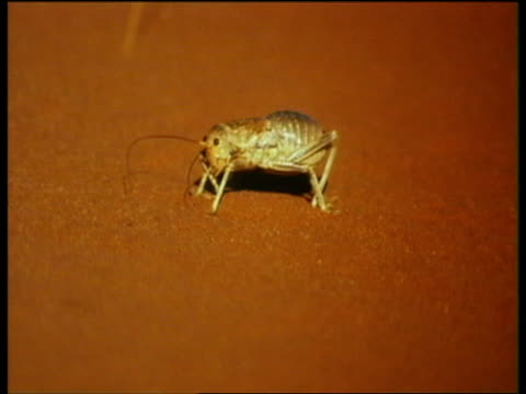 a cricket crawls across red sand. - cricket insect stock videos and b-roll footage