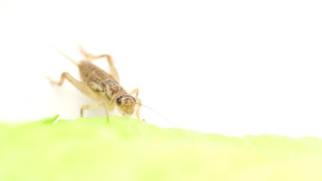 HD Makro cricket-Essen