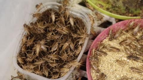 cricket farm in forssa, finland on wednesday, june 26, 2018. - grillo insetto video stock e b–roll