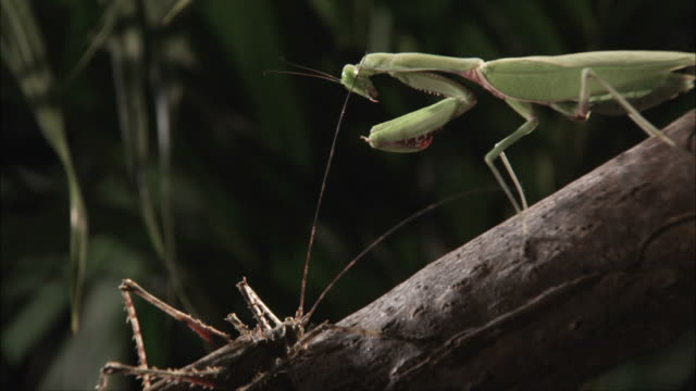 a cricket investigates a preying mantis with its long antennae, then the mantis strikes. - cricket insect stock videos and b-roll footage